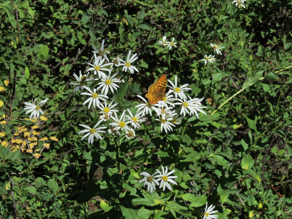 Engleman Aster and butterfly