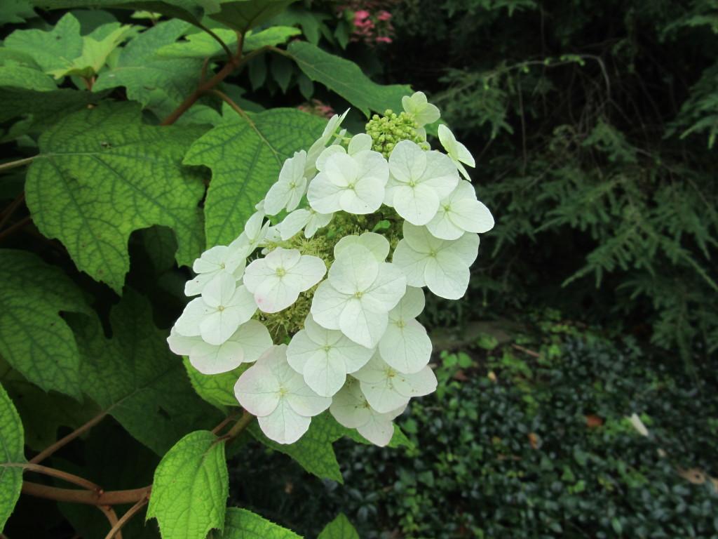 Oakleaf Hydrangea, Inspiration Garden